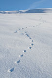 Animal Tracks Snow Winter. Animal tracks cross a snowfield diagonally, with a blue sky in background Royalty Free Stock Image