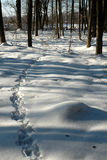 Animal tracks in snowy forest Royalty Free Stock Image