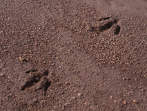 Animal tracks. Tracks of wild Capybara in Argentina Stock Image