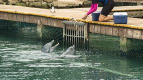 Animal trainer feeding dolphins on summer vacation Stock Images