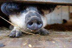 Animal transport. Proboscis of a pig during animal transport Royalty Free Stock Photography