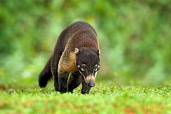 Animal from tropic Costa Rica. Raccoon, Procyon lotor, in green grass, tropic junge, Costa Rica. Animal in forest habitat, green royalty free stock images