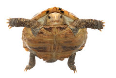 Animal turtle tortoise Stock Images
