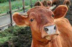 Animal a vaca Imagem de Stock Royalty Free