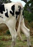Animal - vagabundo da vaca fotografia de stock