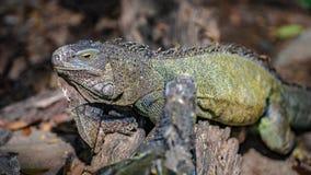 Animal verde do r?ptil do lagarto da iguana fotografia de stock
