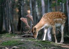 Animal - verticale des cerfs communs affrichés Photographie stock libre de droits