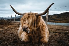 Highland cattle in the nature of Scotland. This animal is a very fascinating one, which you can find in the highlands of Scotland stock image