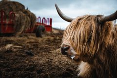 Highlandcattle in the nature of Scotland. This animal is a very fascinating one, which you can find in the highlands of Scotland royalty free stock photos
