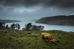 Scotish higland cattle in the nature. This animal is a very fascinating one, which you can find in the highlands of Scotland stock photo