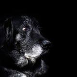 Animal - vieux chien Image libre de droits