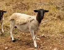 Animal vivo de las ovejas principales negras del dorper Foto de archivo libre de regalías