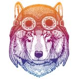 Wolf, dog wearing vintage aviator leather helmet. Image in retro style. Flying club or motorcycle biker emblem. Vector