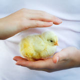 Animal welfare. Children hands surrounding a baby chicken Royalty Free Stock Photography