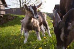 Animal Welfare - goats. Small kids on a farm - animal welfare Stock Image