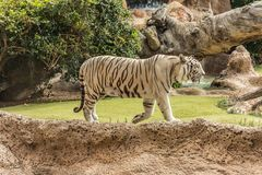White tiger in a zoo in good Animal welfare in a zoo. White tiger in a zoo in good condition. Animal welfare in a zoo. White tiger in a zoo in good condition royalty free stock images