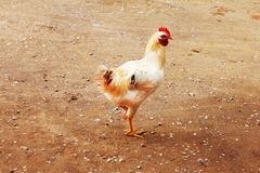 Animal. white bantam. White Chicken Looking Out Of The Barn.  stock photography