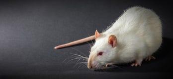 Animal white rat close-up Royalty Free Stock Image