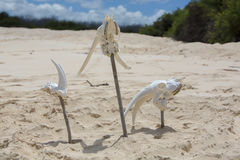 Animal white skull head bones on wild beach, Galapagos Royalty Free Stock Photography