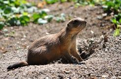 Animal - whiz. Detailed view of a small animal - whiz Stock Photos