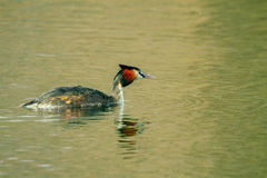 Animal wild bird Podiceps cristatus floating on water Stock Images