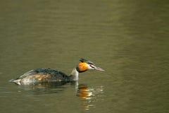 Animal wild bird Podiceps cristatus floating on water Royalty Free Stock Photos