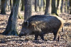 Animal - wild boar in the wild. With a bird on his back. funny photos. Animal - wild boar in the wild with a bird on his back. funny photos stock image