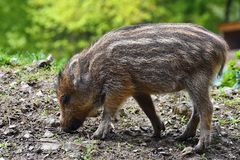 Animal - wild boar in the wild. Young bear playing in nature-forest. Sus scrofa royalty free stock photos