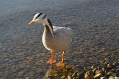 Animal. Wild goose that flies above 9000m stock photos