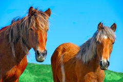 Animal  wild horses Royalty Free Stock Photo