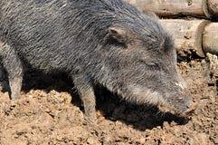 Animal wild pig. Detail view, animal wild pig royalty free stock image