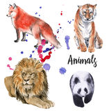 Animal wild set. tiger, a lion, a panda, a fox.  on white background. Watercolor illustration Royalty Free Stock Image
