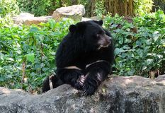 Asian Black Bear Sitting in A Park Royalty Free Stock Images