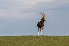 Animal Wildlife Buck Alone Royalty Free Stock Images