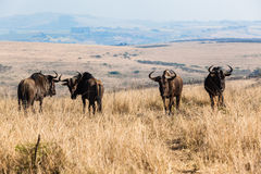 Animal Wildlife Four Blue Wildebeest Stock Image