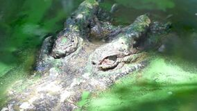 Animal wildlife video close up pan shot of The eyes of crocodile sleeping in dirty ponds or swamps close up shot in Apple Proress. 422HQ 1920x1080 resolution stock video