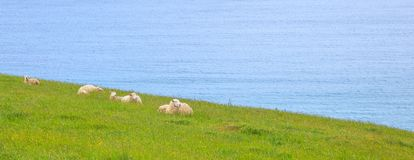 Animal wildlife in the wild concept. Herd of Sheep and Lamb peacefully live in the natural New Zealand green grass meadow field. Near the sea beach royalty free stock photography