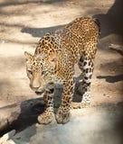 Adult Jaguar or Panthera Onca in Safari royalty free stock image