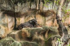 Animal Wildlife in zoo: Sumatran Serow Capricornis sumatraensis is medium-sized goat-like or antelope-like mammals of forested m royalty free stock photography