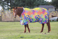Animal Wrap or Comforter. Horse wearing a body wrap or comforter for warmth during the winter months Stock Image