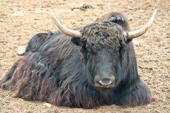 Animal Yak or Tibetan or grunting bull Royalty Free Stock Photos