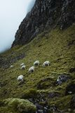 Sheeps in the vastness of Scotland. This animal you can find every where over this country. I was there in April, so many of them have had a little lamb stock photos