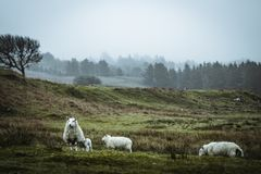 Sheeps in the vastness of Scotland. This animal you can find everywhere over this country. I was there in April, so many of them have had a little lamb royalty free stock images