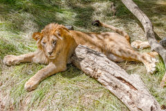 Animal young lion lying on the grass Royalty Free Stock Photography