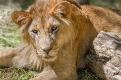 Animal young lion lying on the grass Royalty Free Stock Photos