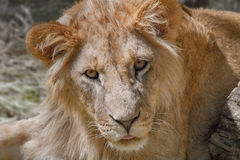Animal young lion lying on the grass Stock Photos