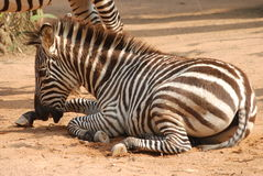 Animal zebra Royalty Free Stock Photography