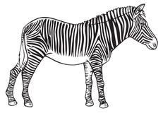 Animal Zebra hand drawing Royalty Free Stock Photo