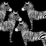 Animal zebra  illustration wild mammal white black zoo str Stock Photos