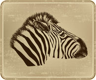 Animal zebra, vector illustration. Stock Photo